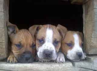 3 pit puppies