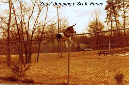 Zeus Jumping a Six Ft. Fence